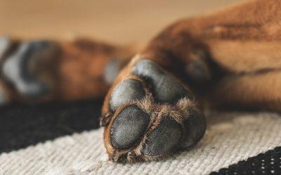¿Cómo cuidar y proteger las almohadillas de los perros?