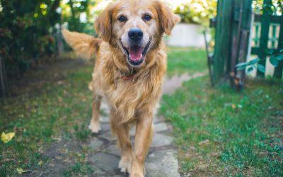 Displasia de cadera en perros: consejos de cuidado y alivio natural
